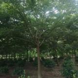 18公分榉树价格 江苏榉树多少钱一棵