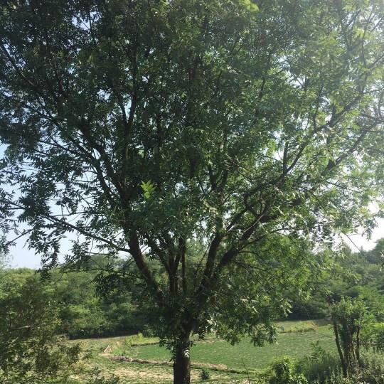 安徽精品黃連木出售 精品黃連木多少錢一棵