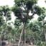 30公分秋楓價格 漳州秋楓多少錢一棵