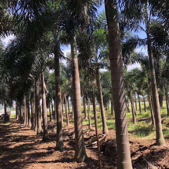 4米高狐尾椰子價格 福建狐尾椰子行情