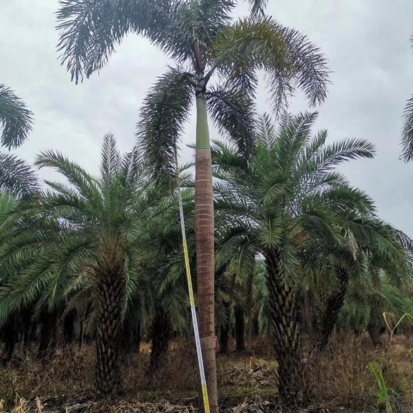 4米高狐尾椰子价格 福建狐尾椰子行情