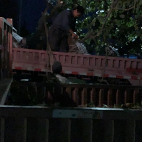 18公分柿子树价格 江苏柿子树多少钱一棵