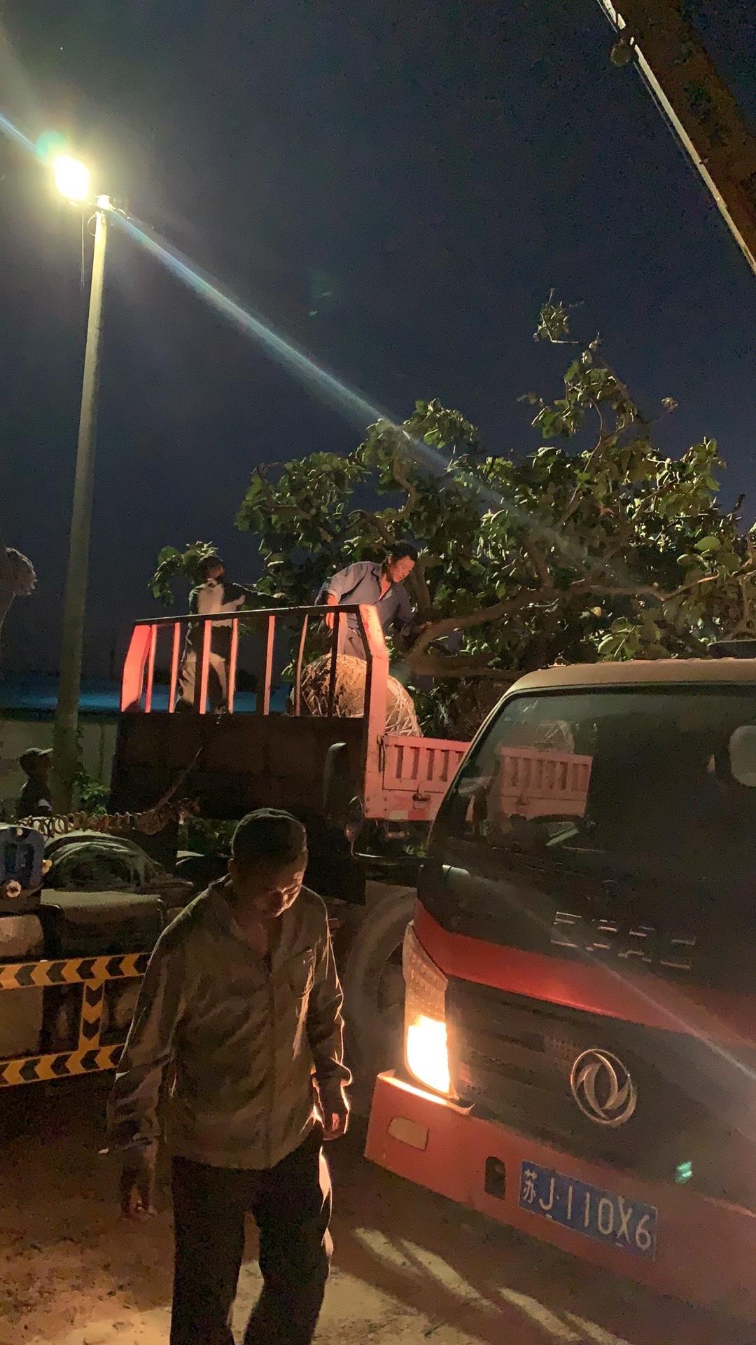 地径18公分柿子树价格 江苏柿子树多少钱一棵