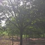 句容榉树苗圃