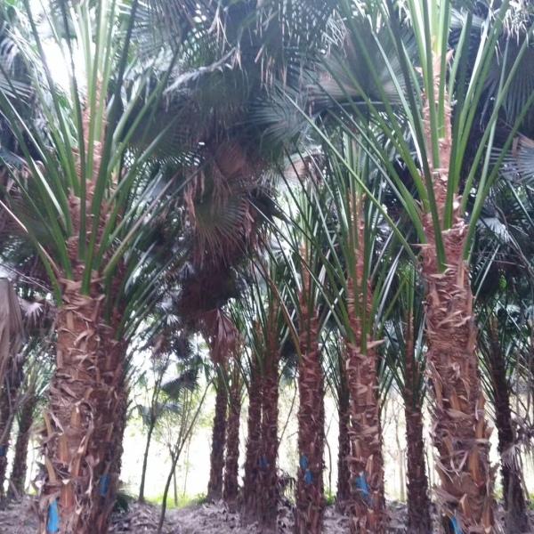 产地直销高杆蒲葵,福建棕榈蒲葵树