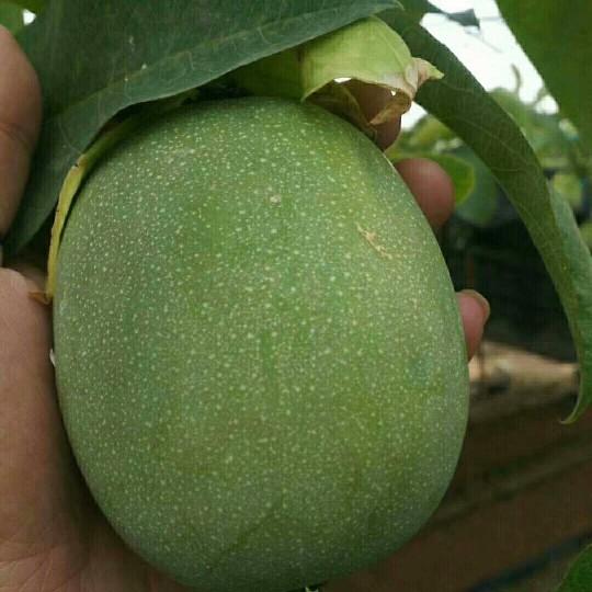 綠皮百香果苗哪里有賣?新品種綠皮百香果苗供應