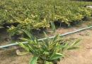 福建茶地被苗30公分高