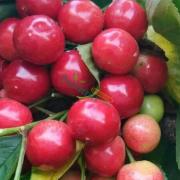 哪里有卖红灯樱桃 红灯樱桃市场行情