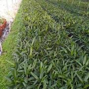 漳州棕竹出售 棕竹哪里卖