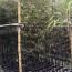高2米紫竹价格 福建紫竹多少钱一棵