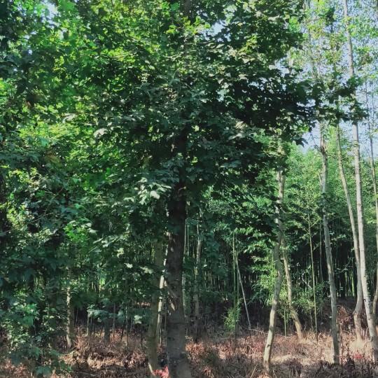 楓香樹 江西楓香基地 20公分楓香樹價格