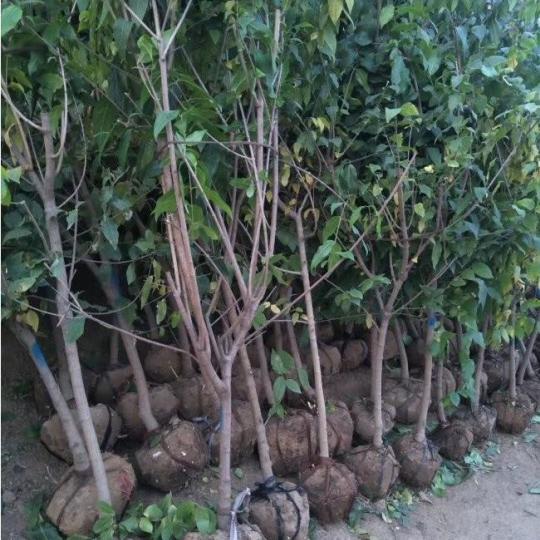 臘梅樹價格 臘梅樹苗基地