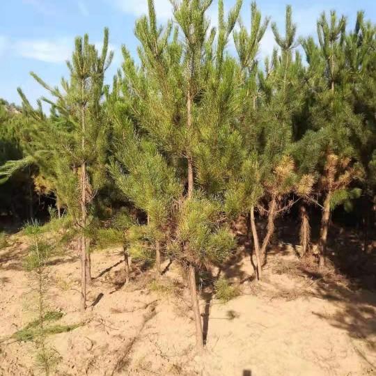 油松树苗价格 油松树苗多少钱一棵?