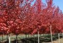 美国红枫价格 江苏美国红枫行情