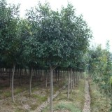 樸樹價格 江蘇樸樹基地