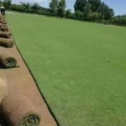 剪股颖草坪价格 剪股颖草坪多少钱一平方?
