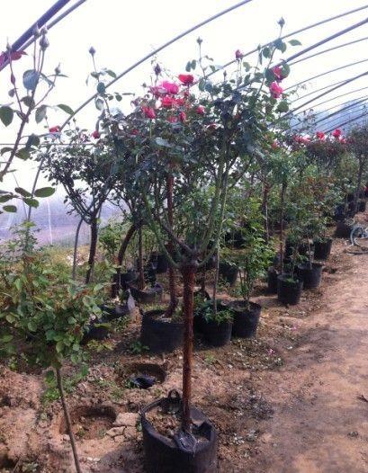 樹樁月季最新報價 江蘇樹樁月季多少錢一顆
