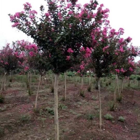紫薇树价格 江苏紫薇基地