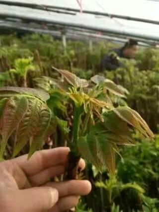 香椿苗基地直销 红油香椿苗多少钱一棵