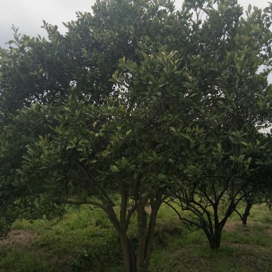 胡柚树多少一棵 10公分胡柚树价格1500.00元