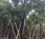 福建红花玉蕊树,红花玉蕊假植苗,大量批发