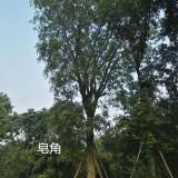 四川温江皂角树 20公分25公分皂角树价格