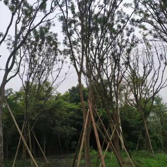 四川温江黄连木价格 20公分25公分30公分四川黄连木价格
