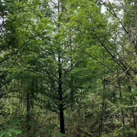 四川溫江水杉價格 10公分15公分水杉報價