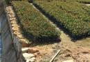 高30公分巴西野牡丹袋苗价格0.9元