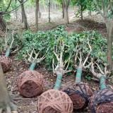 四川温江羊蹄甲价格 15公分25公分成都羊蹄甲价格