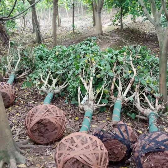 四川溫江羊蹄甲價格 15公分25公分成都羊蹄甲價格