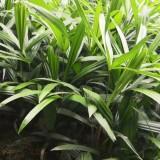 四川成都棕竹小苗 高30公分高棕竹工程用苗 地苗 杯苗价格