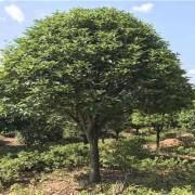 香樟大量出售 15公分香樟多少钱