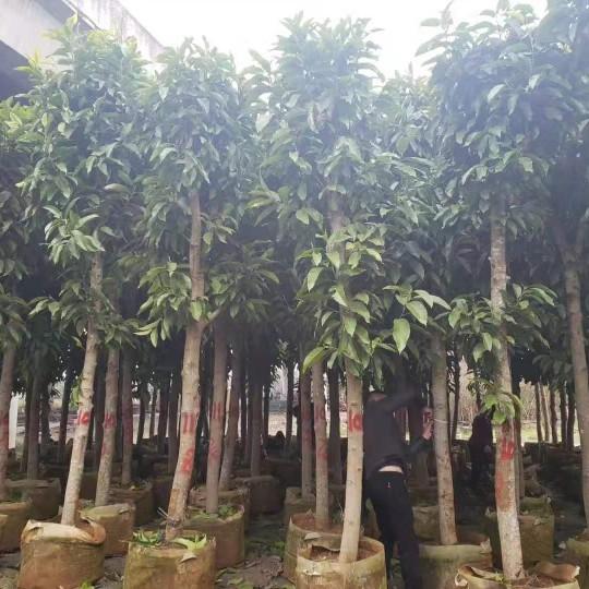四川成都黃桷蘭10公分批發黃桷蘭質優價廉農戶直銷