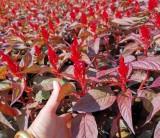 福建时花,观赏花,凤尾鸡冠花袋苗,大量供应