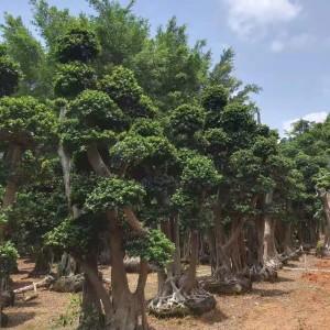 造型小叶榕树桩批发报价 福建造型小叶榕树桩行情