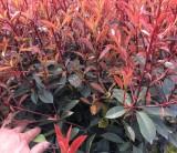 25公分红叶石楠小杯苗价格 红叶石楠基地