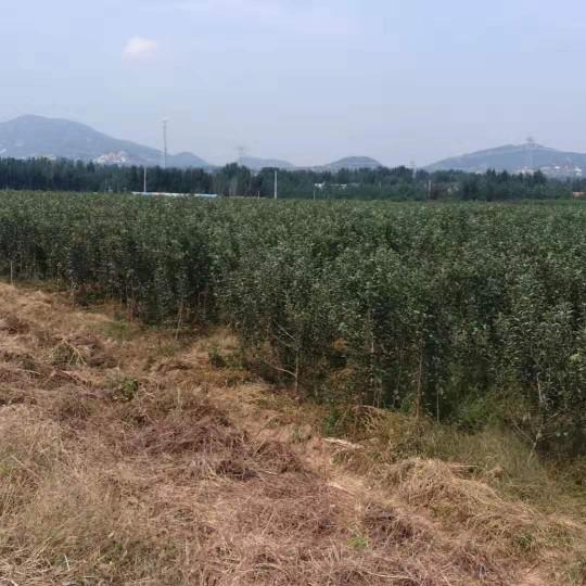 花牛苹果苗价格多少 花牛苹果市场行情