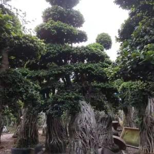 榕树盆景市场报价 福建榕树盆景怎么卖