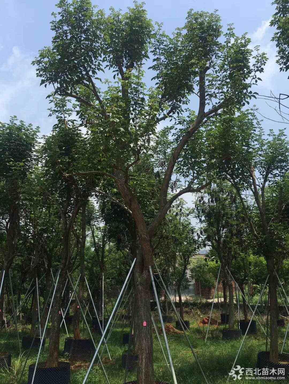 黃花風鈴木基地批發價 黃花風鈴木怎么賣