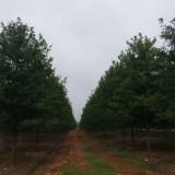 娜塔栎最新价格 娜塔栎多少钱一棵?