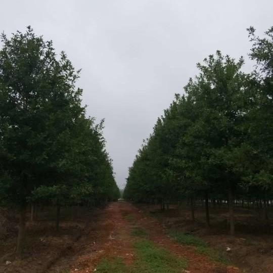 娜塔櫟最新價格 娜塔櫟多少錢一棵?
