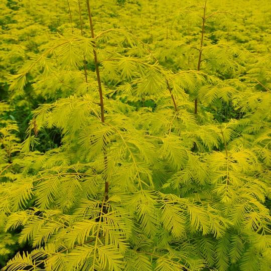 金葉水杉小苗 金葉水杉樹苗價格