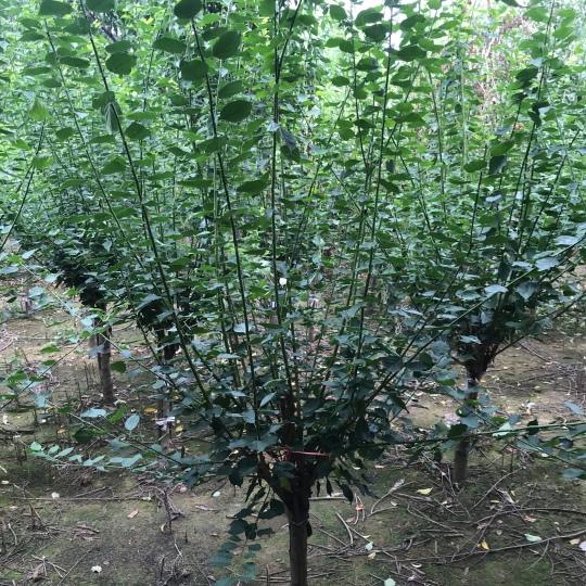 5公分红梅树苗价格 红梅树苗批发