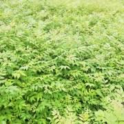 黄柏树苗哪里有卖?