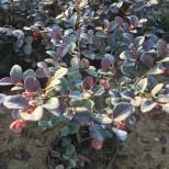 武汉红继木价格多少钱一棵?红花继木最新价格