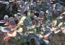 浙江红花继木大桶苗价格球优优惠球 50冠幅红花继木大桶苗基地批发行情
