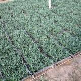 玉龙草一个平方多少钱 玉龙草价格