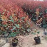 40公分高红叶石楠小苗价格