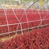 红叶石楠小苗价格 红叶石楠小苗基地